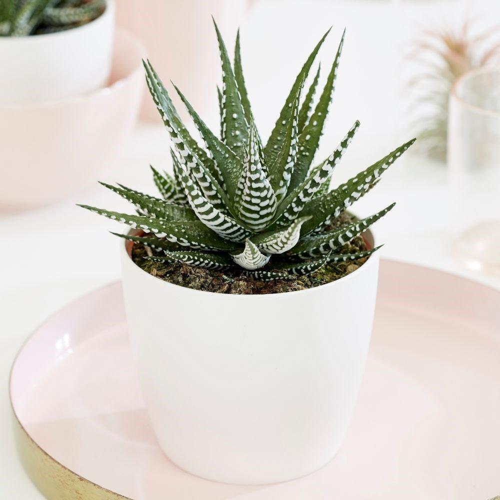 Zebra Plant (Haworthia fasciata) Succulent House Plant