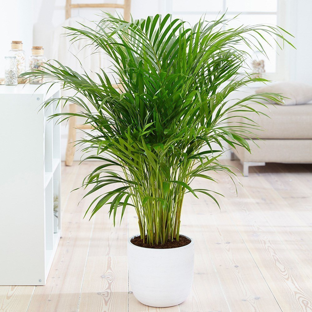 Areca Palm or Butterfly Palm (Dypsis lutescens) House Plant Slider Image 01