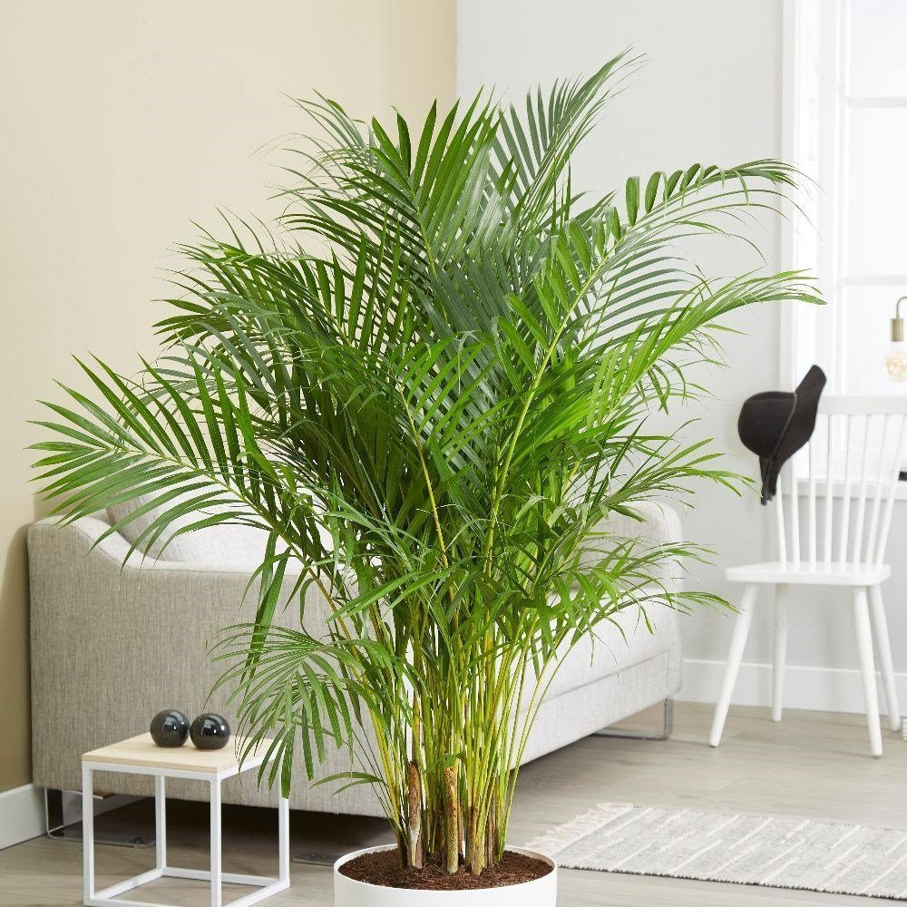 Areca Palm or Butterfly Palm (Dypsis lutescens) House Plant Slider Image 02