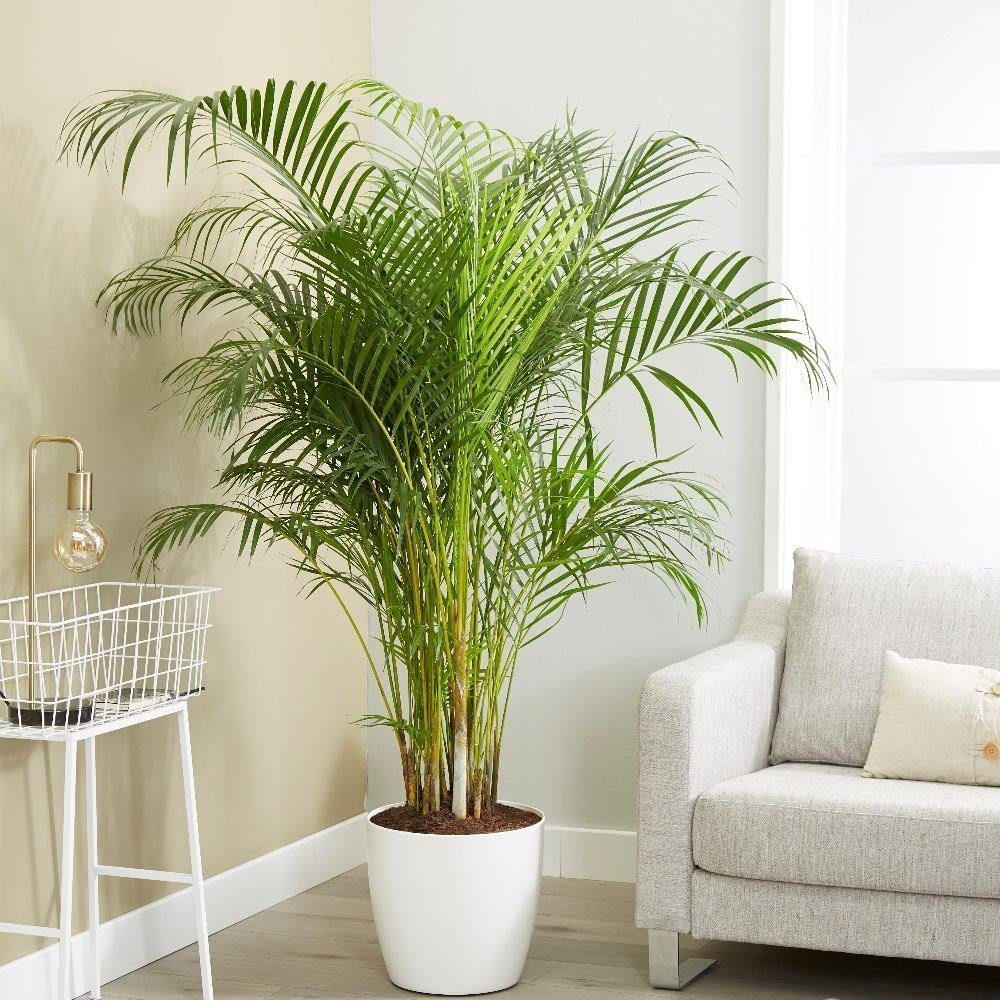 Areca Palm or Butterfly Palm (Dypsis lutescens) House Plant Slider Image 03
