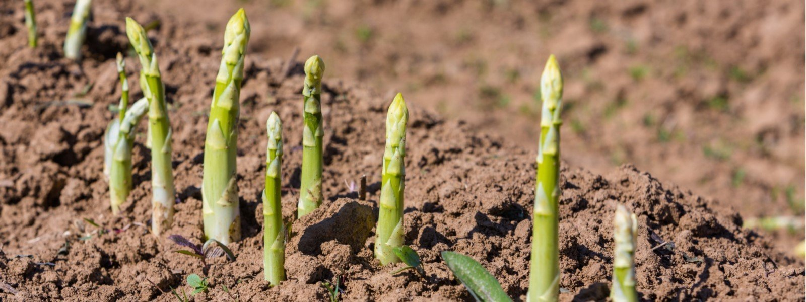 British Asparagus Growing in Field