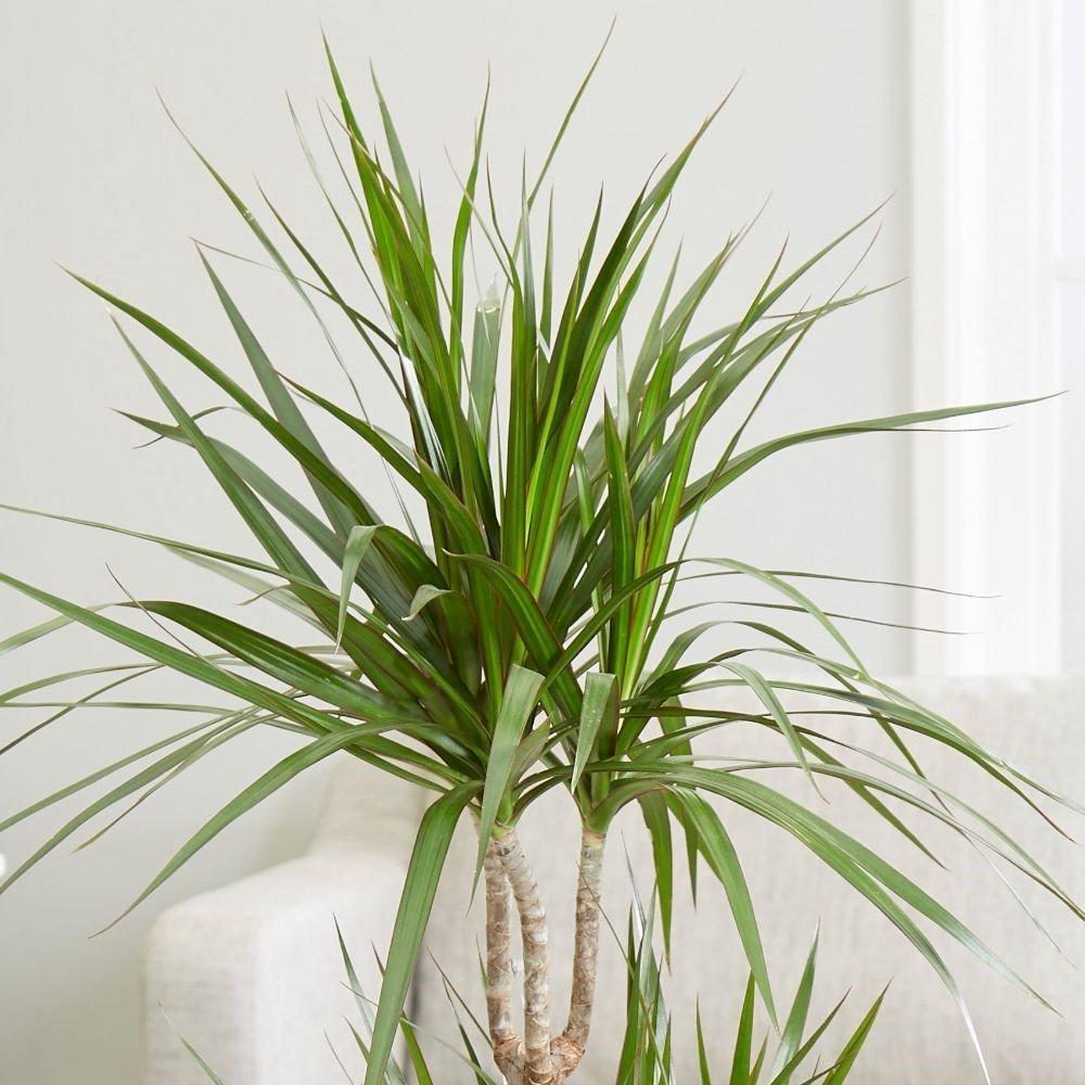 Dragon Tree (Dracaena marginata) House Plant Slider Image 02