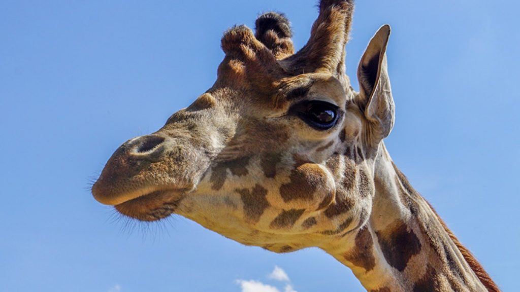 Giraffe at Cotwold Park and Gardens