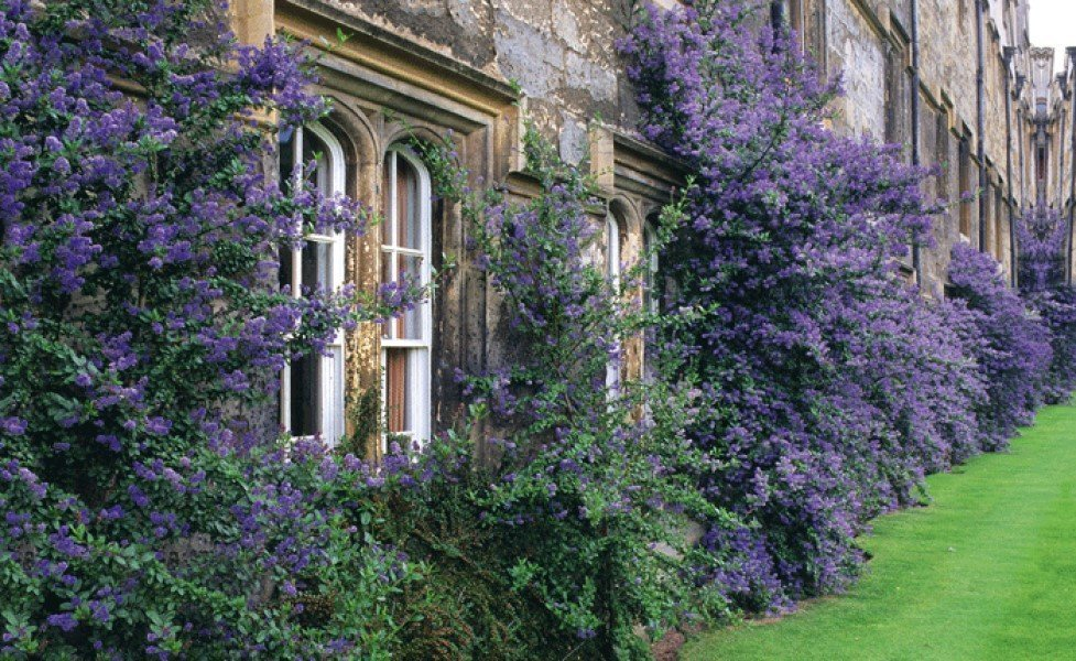 Inside Oxford College Gardens - - The Ceanothus-clad Walls of Merton College