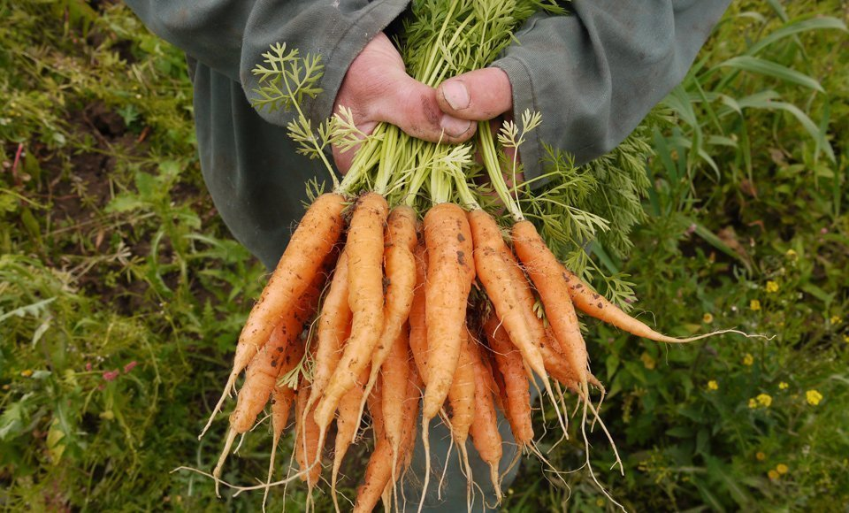 Medley Manor Farm Oxford Carrots