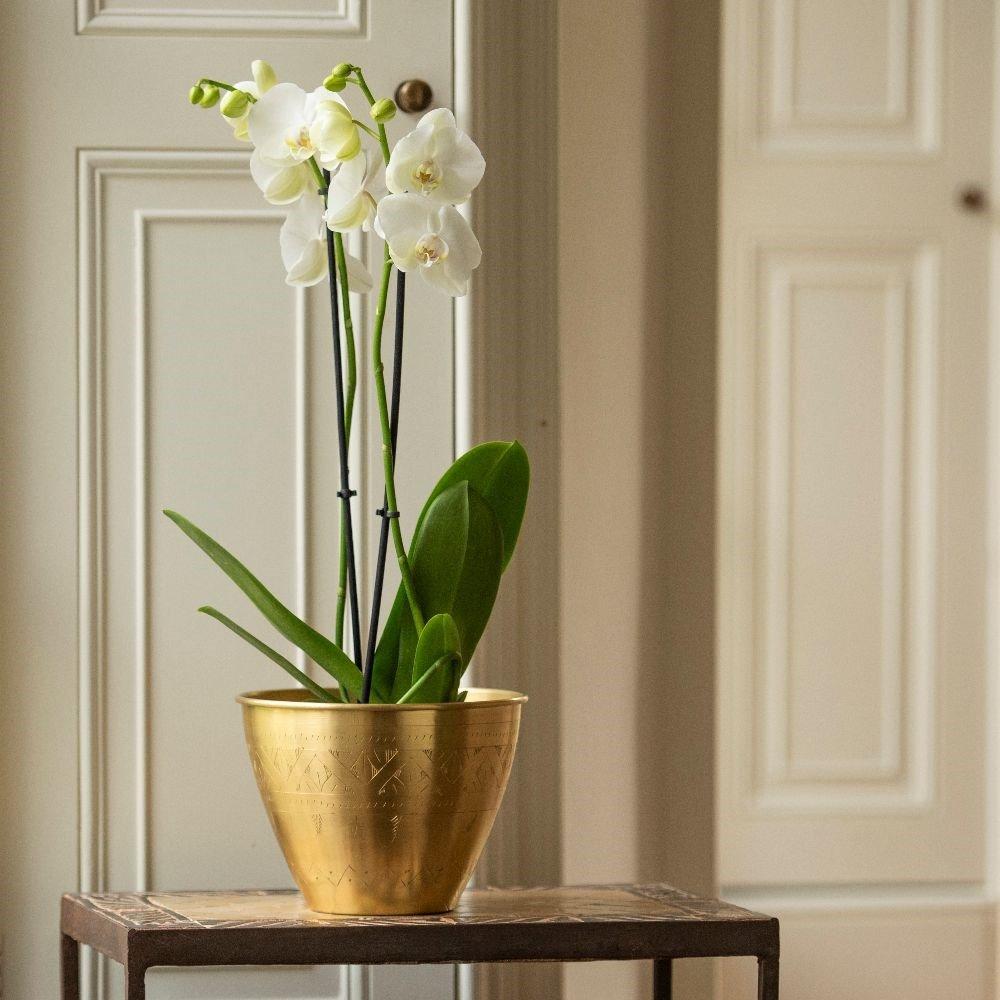 Moth Orchid (Phalaenopsis grandiflorum) 'White' House Plant Slider Image 01