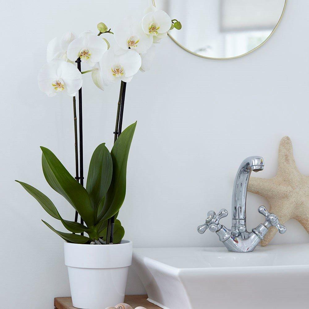 Moth Orchid (Phalaenopsis grandiflorum) 'White' House Plant Slider Image 02
