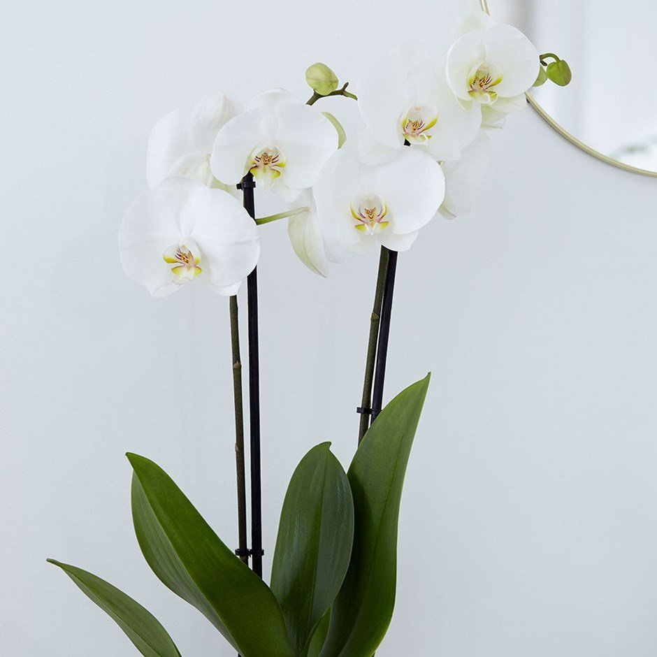 Moth Orchid (Phalaenopsis grandiflorum) 'White' House Plant Slider Image 03