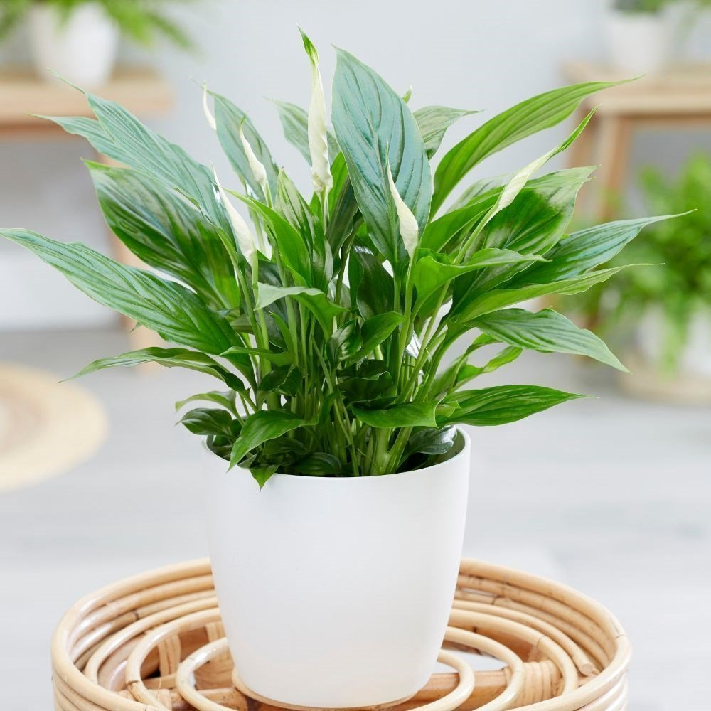Peace lilies (Spathiphyllum) House Plant Slider Image 01