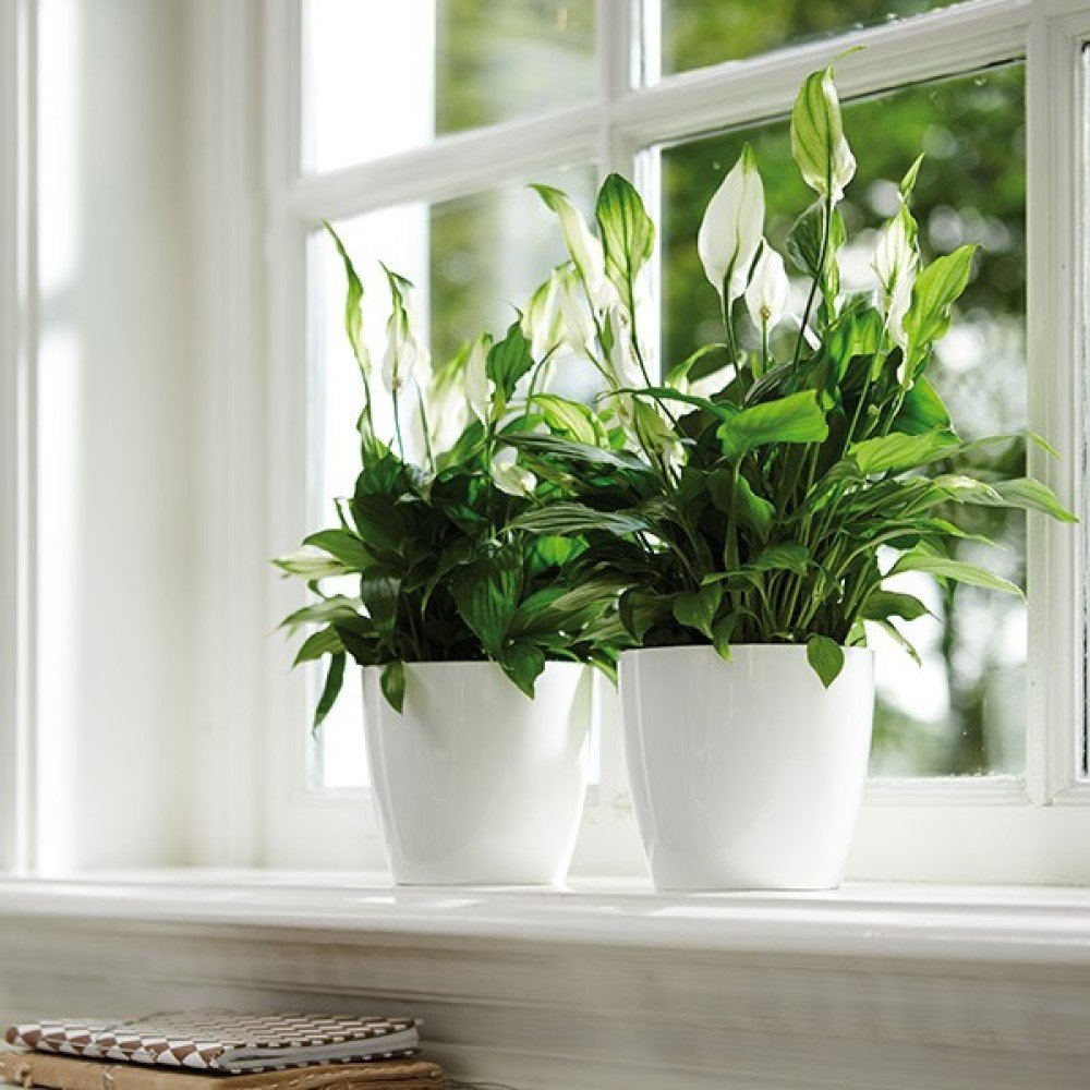 Peace lilies (Spathiphyllum) House Plant Slider Image 02
