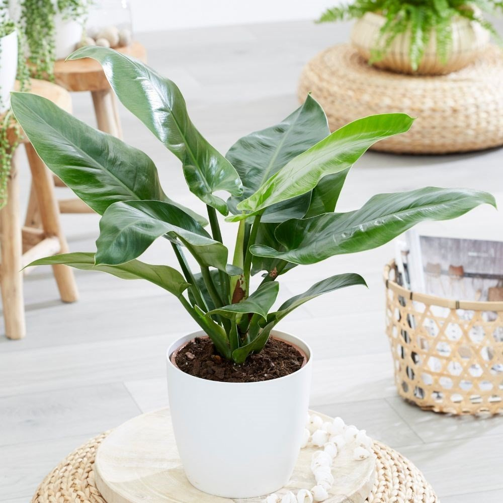 Philodendron 'Imperial Green' (Philodendron) House Plant Slider Image 01