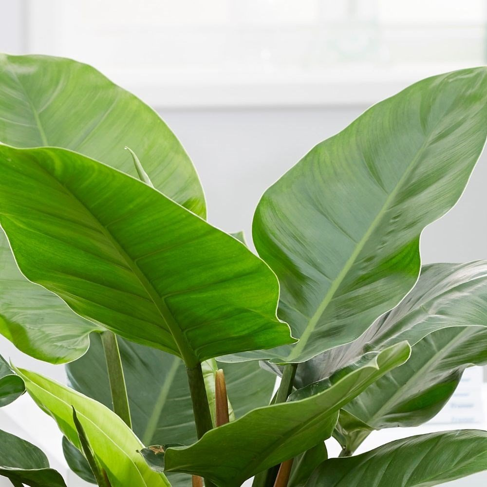 Philodendron 'Imperial Green' (Philodendron) House Plant Slider Image 02