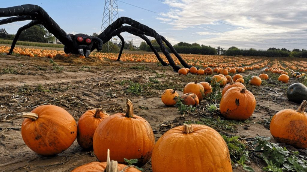 Pick your own Pumpkins at Millets Farm