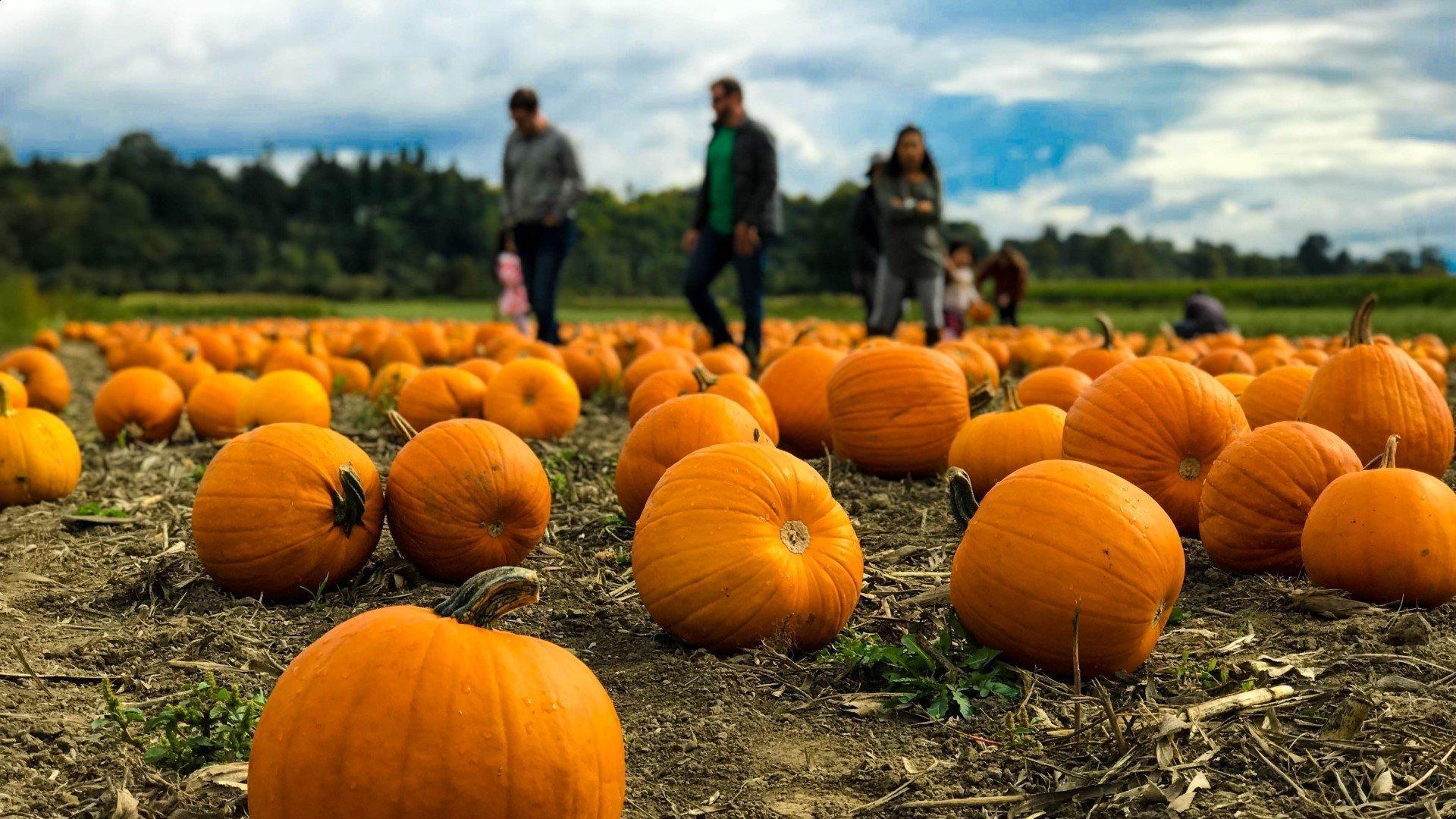 Pumpkin Picking at Hadsham Farm