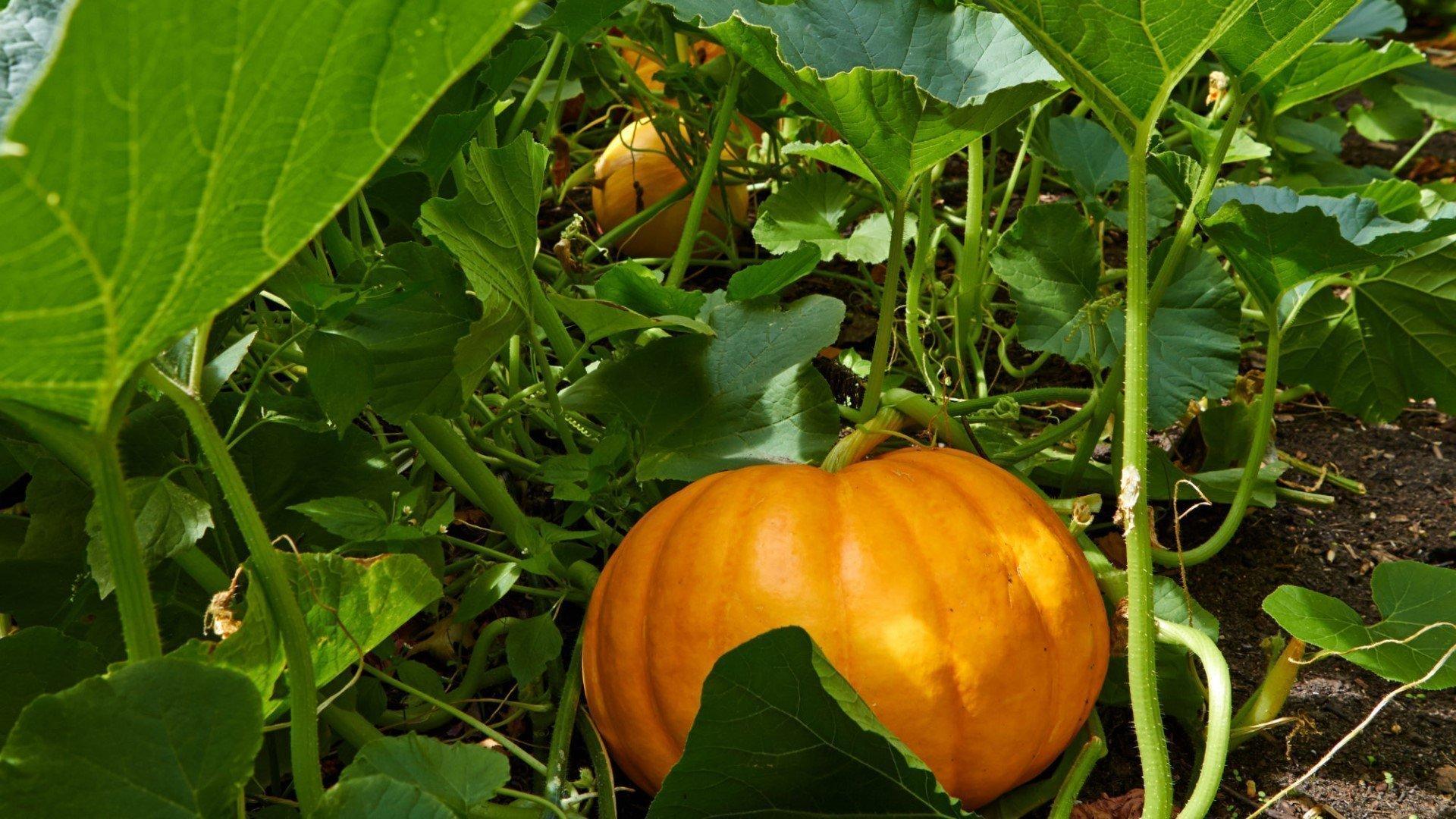 Pumpkin Picking at Rectory Farm
