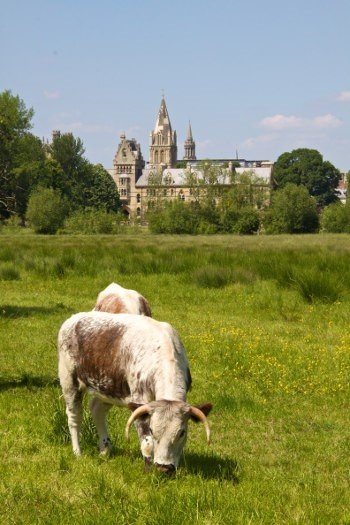 Rare English Longhorn Cattle at Christ Church Meadow Oxford University