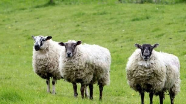 Sheep at Cogges Manor Farm