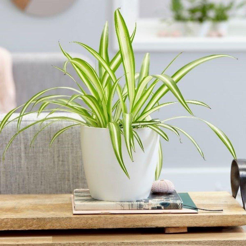 Spider Plant (Chlorophytum comosum) House Plant Slider Image 01