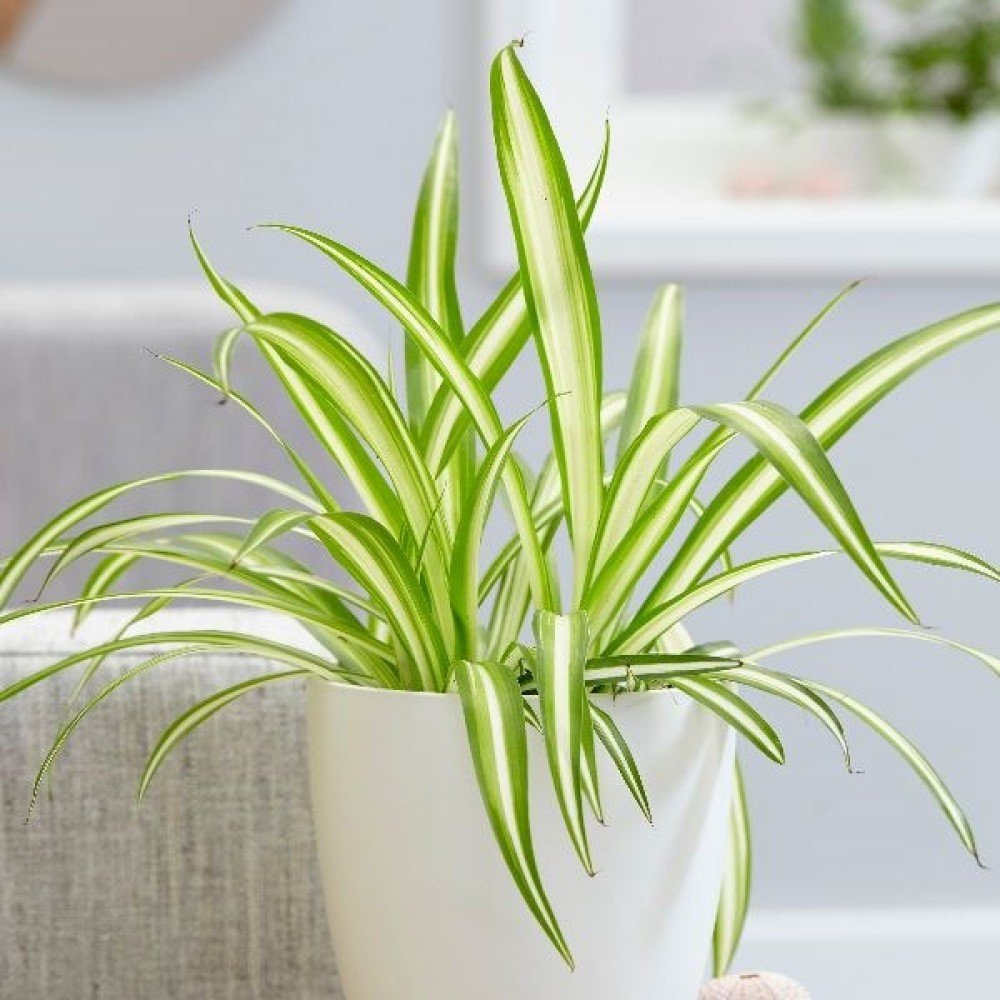 Spider Plant (Chlorophytum comosum) House Plant Slider Image 02