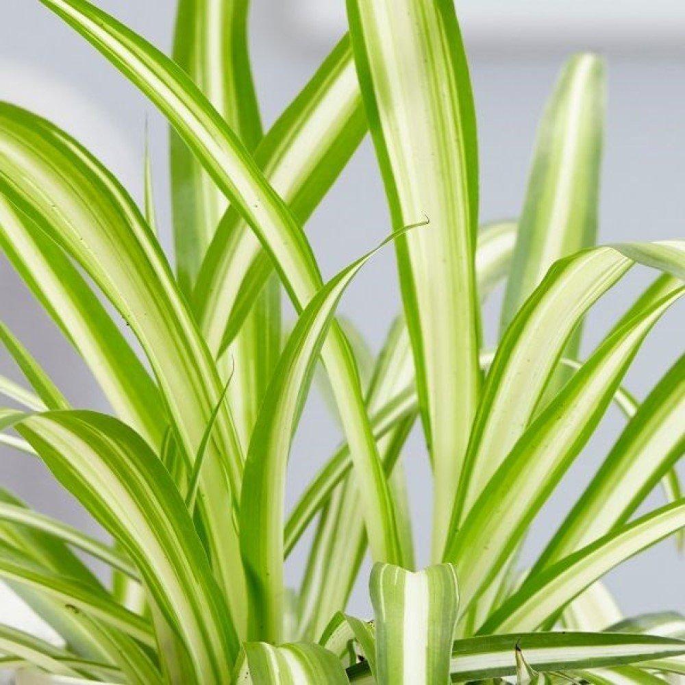 Spider Plant (Chlorophytum comosum) House Plant Slider Image 03