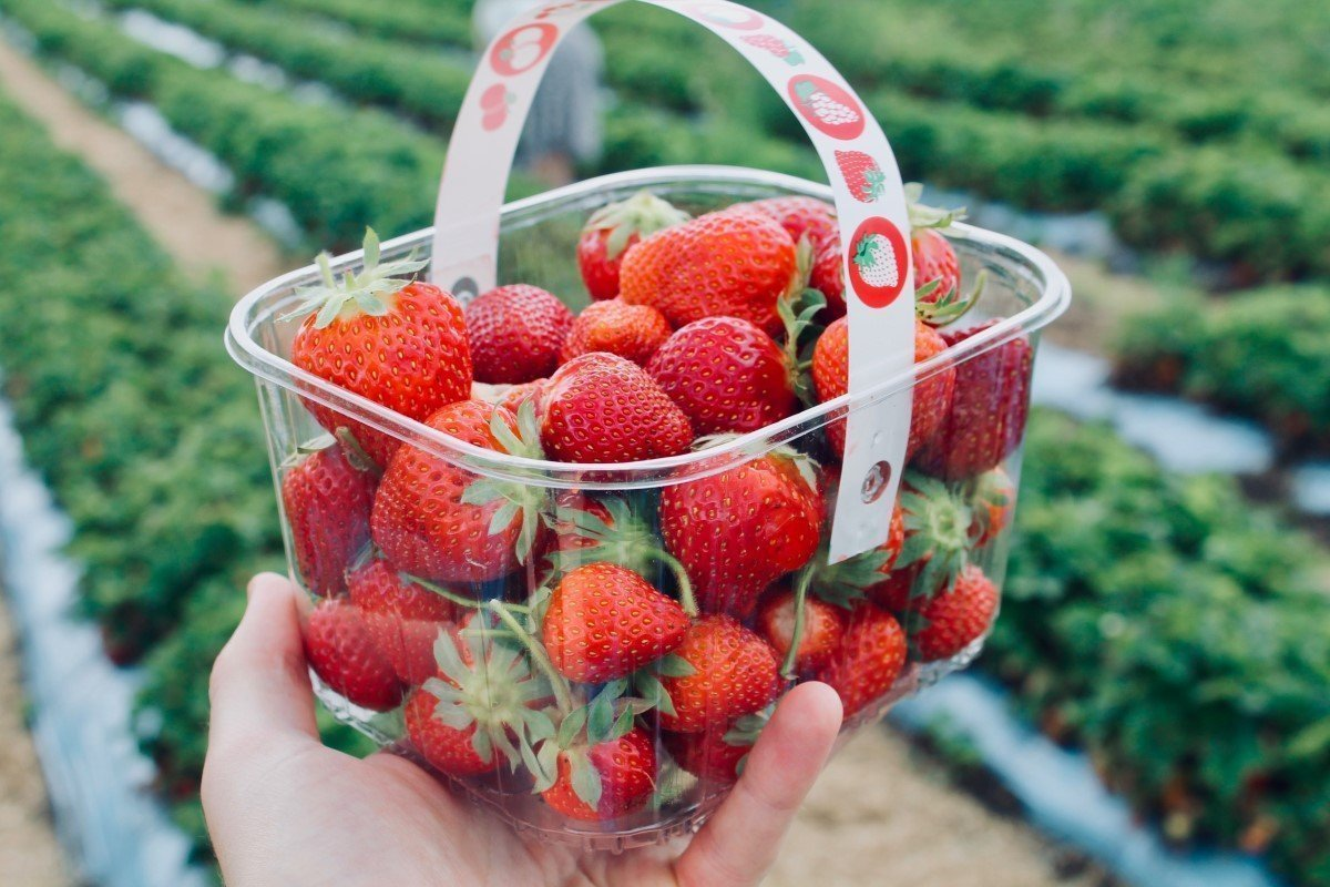 Pick-your-own strawberry picking farms in Oxford and Oxfordshire.